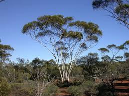 A Eucalypt Tree