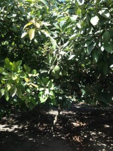 Avocados ripening on the branch, ready to harvest in about a month.