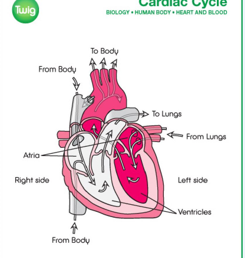 Parts Of The Heart Ac Must Remember Parts And How Blood Flows