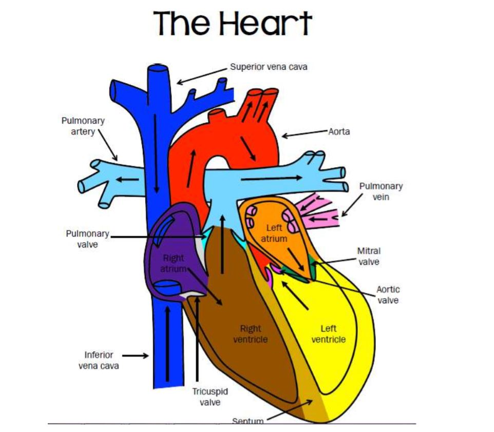 Parts of the heart image with labels mrs derochers super science the heart coloring activity and as pdf 11m7hxt ccuart Image collections