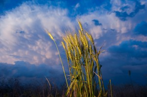 Wheat Against Dark Sky