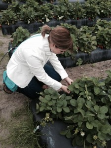 Nicole Lane, senior in agricultural communications and journalism, learns more about Florida's strawberry industry while visiting a large strawberry farm.