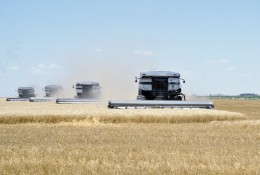 Harvesting wheat with four combines