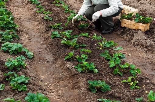Transplanting Strawberry Plant Garden Design Ideas