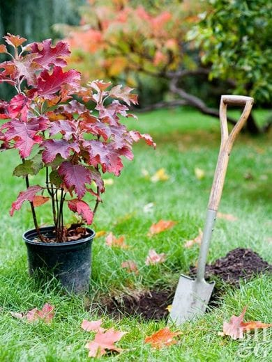 Planting Trees in Fall