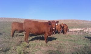 Red Angus Females