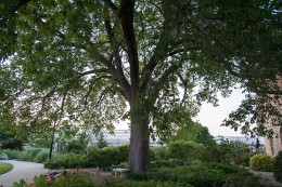 Gardens_Dutch_Elm_Tree