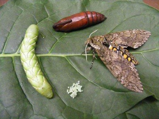 The life cycle of the tobacco hornworm, or Manduca sexta.