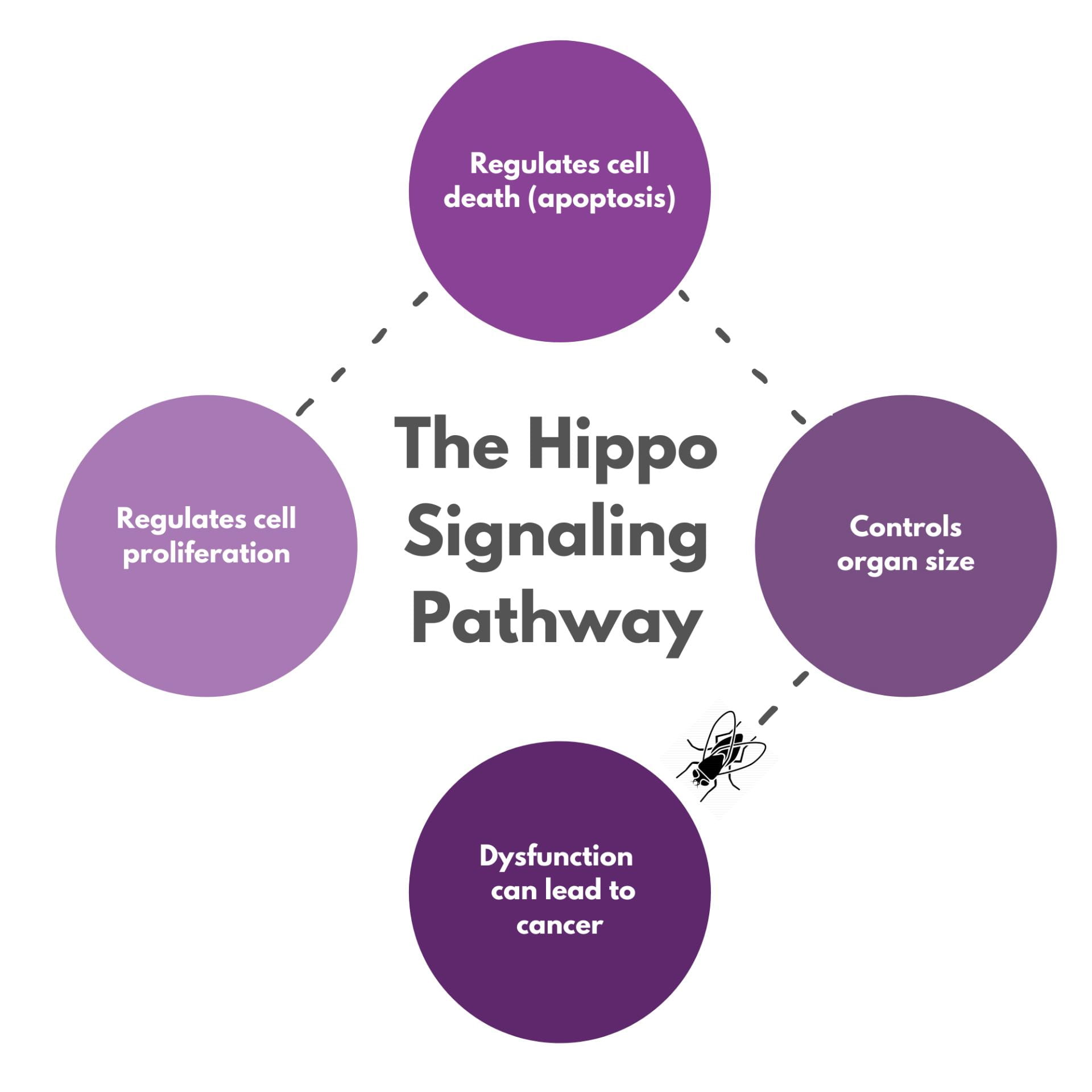 Hippo Signaling Pathway diagram