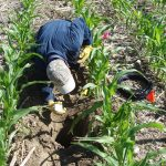 Researcher installs soil sensors below crops
