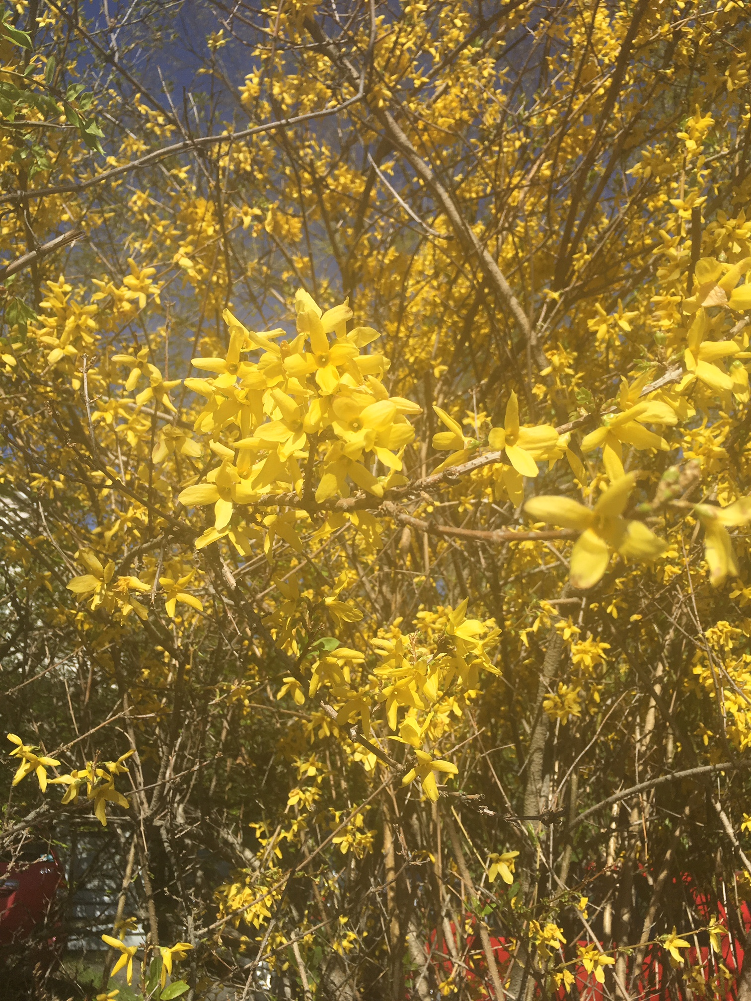 Janine sun nature on campus the next plant i came across had tall brown stalks with smooth bark dotted in striking clusters of four petaled yellow flowers the flowers pistils were mightylinksfo