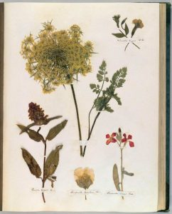 A page from Dickinson's Herbarium. Houghton Library, Harvard University