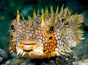 webbed burfish