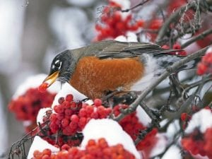 New England Robin