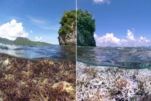before and after image of coral bleaching in American Samoa