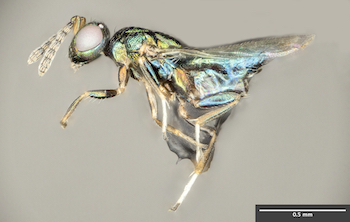The crypt-keeper wasp, Euderus set.