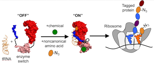 Rice scientists have discovered a method to tag proteins with a controllable enzyme switch. When prompted, fragments of a tRNA synthetase come together and charge a tRNA with a bio-orthogonal amino acid (N3), which is inserted as a recognizable tag into all subsequent proteins made in the cell.