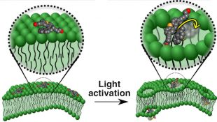 Motorized molecules that target diseased cells may deliver drugs or kill the cells by drilling into the cell membranes. The illustration shows a motorized molecule sitting atop a cell membrane (left) and molecules activated by ultraviolet light drilling into the bilayer membrane (right).