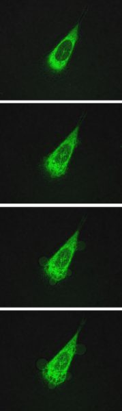 A sequence of images taken over 10 minutes shows a human prostate cell under attack by motorized molecules. The cell, tagged with a green fluorescent protein, is made permeable by the nanomachines, which drill through its lipid bilayer membranes. The bottom images clearly show blebbing (bubbling) of the membrane as cytoplasm leaks out of the cell.