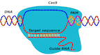 When a CRISPR-Cas9 protein finds its target, it first finds a spacer sequence known as PAM and then searches adjacent DNA to see if it matches Cas9's guide RNA. A new model developed by researchers at Rice University could help uncover details about the mechanism by which CRISPR-Cas9 can replace mutations with correct DNA.