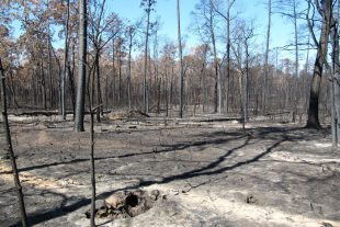 Forest destroyed by 2011 wildfire