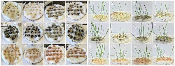 Rice University researchers tested the effects of carbon nanotubes on the growth of wheatgrass. While some showed no effect, purified single-walled nanotubes in water (5) enhanced the plants' growth, while the same nanotubes in a solvent (6) retarded their development. The photos at left show the plants after four days and at right after eight days, with odd-numbered plants growing in water and evens in a solvent. Numbers 1 and 2 are controls without nanotubes; 3-4 contain raw single-walled tubes; 5-6 purified single-walled tubes; 7-8 raw multi-walled tubes; 9-10 low-concentration iron-oxide nanoparticles and 11-12 high-concentration iron-oxide nanoparticles.