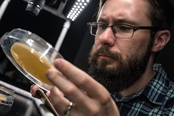 Rice University researcher Nick Keiser checks a community of fruit flies. A new study by Keiser and his colleagues found that social context in the community has a lot to do with how a disease spreads. (Credit: Jeff Fitlow/Rice University)