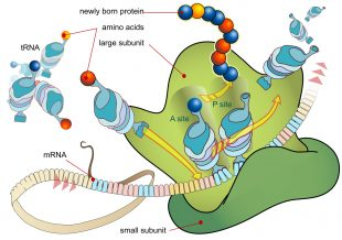 "Illustration of how mRNA and tRNA molecules work during ""translation"" to build proteins"
