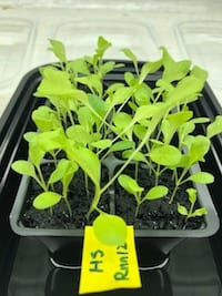 Lettuce growing in once oil-contaminated soil revived by a process developed by Rice University engineers. The Rice team determined that pyrolyzing oil-soaked soil for 15 minutes at 420 degrees Celsius is sufficient to eliminate contaminants while preserving the soil's fertility. The lettuce plants shown here, in treated and fertilized soil, showed robust growth over 14 days. (Credit: Wen Song/Rice University)