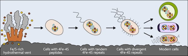 Life may have arisen near hydrothermal vents rich in iron and sulfur. The earliest cells incorporated these elements into small peptides, which became the first and simplest ferredoxins -- proteins that shuttle electrons within the cell -- to support metabolism. As cells evolved, ferredoxins mutated into more complex forms. The ferredoxins in modern bacteria, plant and animal cells are all derived from that simple ancestor. (Credit: Illustration by Ian Campbell/Rice University)