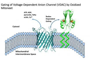 redox-dependent mitoNEET gating of VDAC
