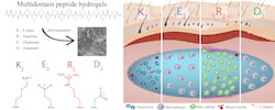 An illustration shows how effective a selection of custom-designed peptide hydrogels are in controlling inflammation. The gels developed at Rice University serve as scaffolds for new tissue and show promise for treating wounds and cancer and for delivering drugs. The hydrogels are designed to dissolve in the body as they are replaced by natural, functional tissue. (Illustration by Tania Lopez-Silva/Rice University)