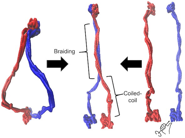 This illustration by Rice University scientists demonstrates that cohesin exists as an ensemble of braided structures (middle). Cohesin is a member of a family of proteins that have an important role in DNA organization, but little is known about the mechanism of DNA operation. Braiding of coiled coil regions was achieved in Rice's computational models using both the initial ring-shaped complex (right) or by applying torque to separated protein members (left). Protein members are shown in blue and red. (Credit: Dana Krepel/Rice University)