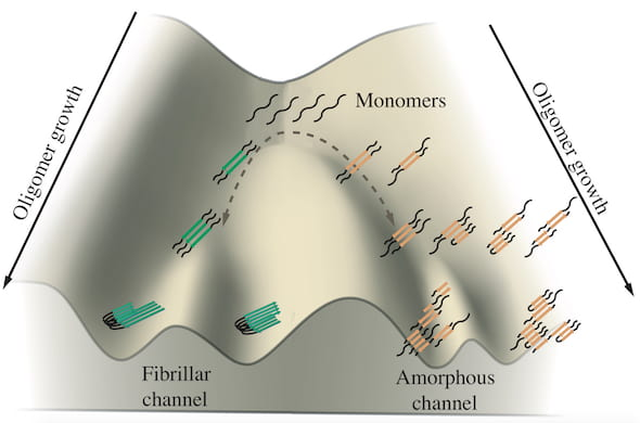 A schematic shows the growth of tau oligomers implicated in Alzheimer's and Pick's diseases. Monomers of tau tend to aggregate along two channels, one leading to fibrils that form tangles and the other leading to amorphous clumps in neurons. Rice University researchers simulated the proteins in computational models to see how and where the branching happens. (Credit: Center for Theoretical Biological Physics/Rice University)