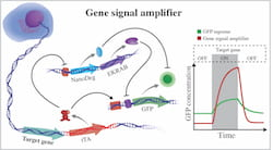 The gene signal amplifier developed by bioscientists at Rice University excels at detecting the expression of target genes and can also be used to detect potentially any cellular gene. The amplifier is linked to a cell's chromosome and directly reports on the activity of a gene by expressing fluorescent proteins (GFP). When the gene is not active, the amplifier expresses negative regulators that quench GFP by operating at different hierarchical levels of cellular information flow, EKRAB is a transcriptional repressor and NanoDeg is a post-translational regulator. When the gene is active, tTA produces GFP and blocks expression of the negative regulators. (Credit: Segatori Research Group/Rice University)
