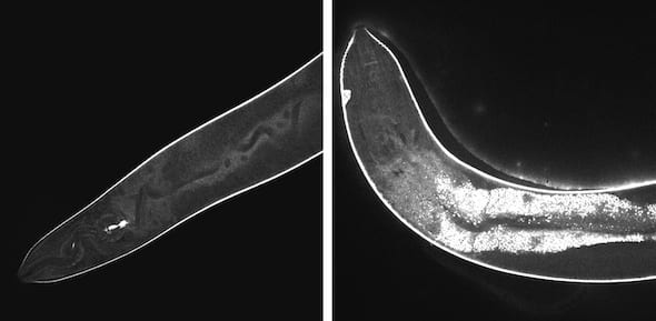 High-resolution confocal images show the effects of light-activated molecular drills on cells inside a worm. Before activation, at left, the injected drills remain dark. At right, after 15 minutes of exposure to light, fluorescent signals show widespread damage in the transparent nematodes. The drills developed at Rice University are intended to target drug-resistant bacteria, cancer and other disease-causing cells and destroy them without damaging adjacent healthy cells. (Credit: Thushara Galbadage/Biola University)
