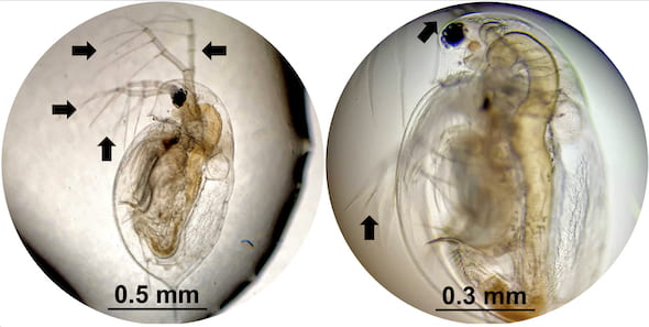 Daphnia, a species of plankton, were exposed to molecular machines developed at Rice University in lab experiments to determine the effects of the microscopic drills on tissue. At left is a healthy plankton with all of its appendages. At right, the daphnia has only two of its appendages after 10 minutes of exposure to light-activated nanomachines. The drills are intended to target drug-resistant bacteria, cancer and other disease-causing cells and destroy them without damaging adjacent healthy cells. (Credit: Alison Buck/Biola University)