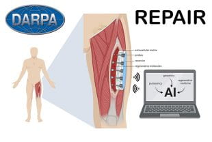 Illustration showing how REPAIR, a smart electronic patch, will help regrow muscle tissue