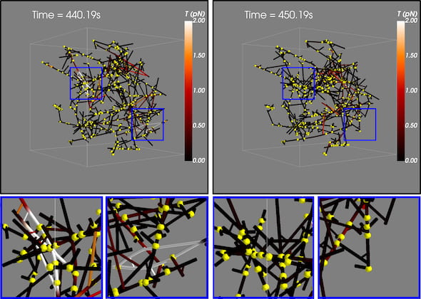 These snapshots of actin filaments, motors and linkers show how a branched network changes during an avalanche as tension in the system, indicated by color, is released over 10 seconds. The blue squares at top left highlight concentrated high-tension regions that become low-tension areas (top right) after the event. Researchers suspect avalanches in the actomyosin networks in neuronal cells are one possible mechanism by which the brain preserves memories. (Credit: Memory/Plasticity Group at CTBP/Rice University)