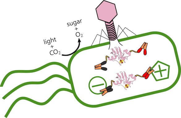 Rice University scientists are analyzing the role of ferredoxin proteins produced when viral phages alter electron transfer in ocean-dwelling, photosynthetic bacteria that produce oxygen and store carbon. When the virus (pink) infects the bacteria, it produces a ferredoxin protein that hooks into the bacteria's existing electrical structure and alters its metabolism. (Credit: Illustration by Ian Campbell/Rice University)