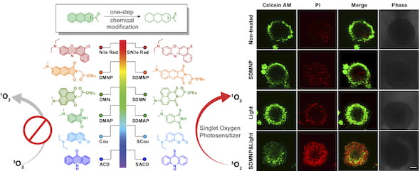 The design of thio-based photosensitizers, at left, by Rice University chemists shows promise for photodynamic cancer therapy, among other applications. One thiocarbonyl substitution -- trading an oxygen atom for a sulfur atom -- of a variety of fluorophores can dramatically enhance their ability to generate reactive oxygen species that kill cancer cells. At right, images of multicellular tumor spheroids treated with photosensitizers and light (in the bottom row) show how the compounds, when excited by light, damage the cells. (Credit: Xiao Lab/Rice University)