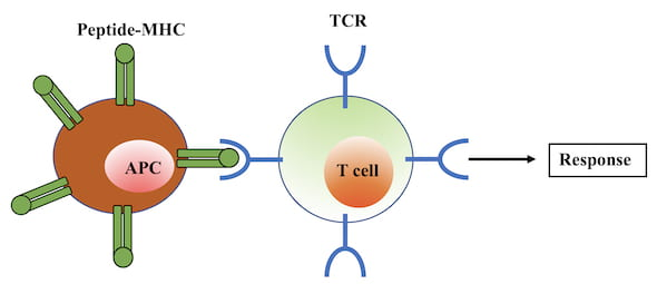 "Rice University scientists' simple model of T cell activation of the immune response shows the T cell binding, via a receptor (TCR) to an antigen-presenting cell (APC). If an invader is identified as such, the response is activated, but only if the ""relaxation"" time of the binding is long enough. (Credit: Hamid Teimouri/Rice University)"