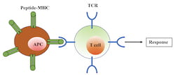 """Rice University scientists' simple model of T cell activation of the immune response shows the T cell binding, via a receptor (TCR) to an antigen-presenting cell (APC). If an invader is identified as such, the response is activated, but only if the """"relaxation"""" time of the binding is long enough. (Credit: Hamid Teimouri/Rice University)"""