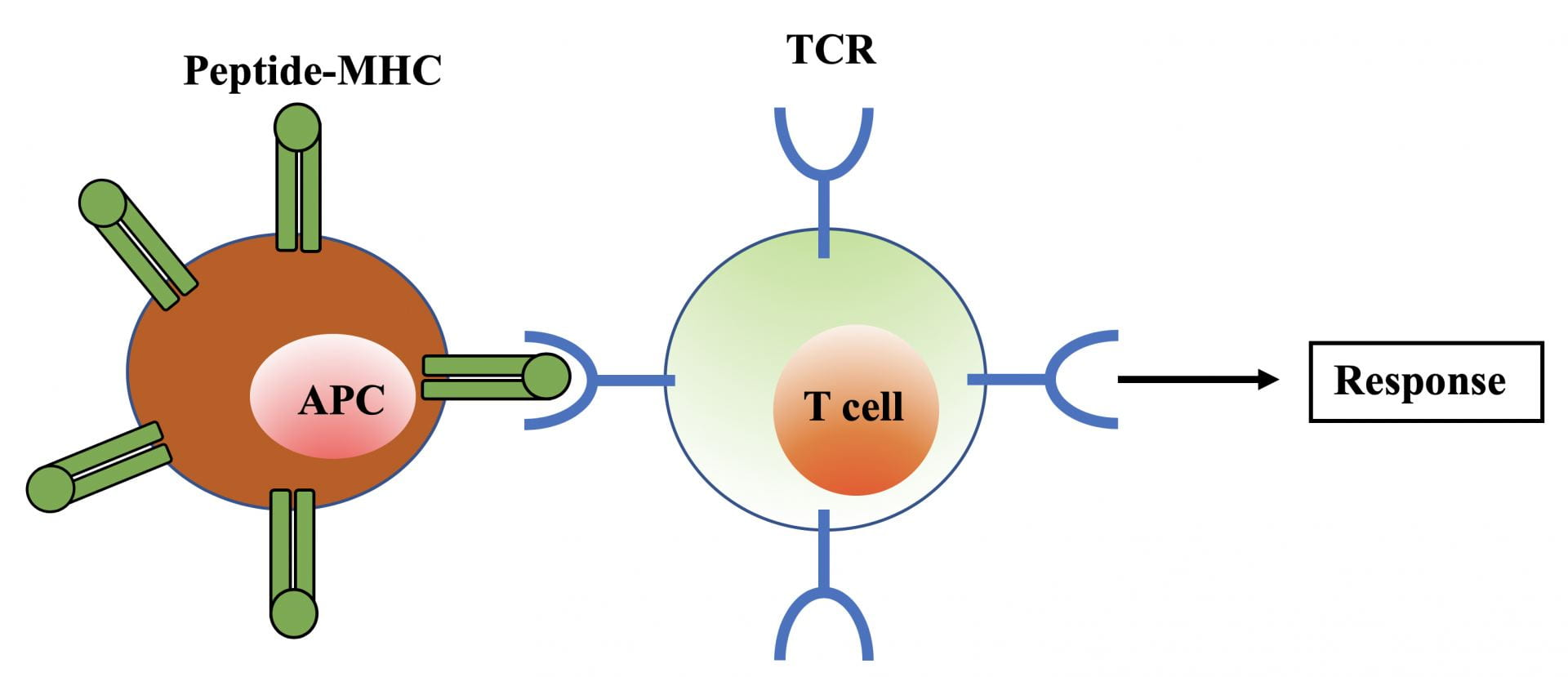"The graphic shows the T cell binding to an invader, with an arrow pointing towards ""Response"""