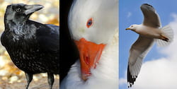 Urban crows, ducks and gulls are a potentially important reservoir of antimicrobial resistance genes, according to Rice University engineers who studied their droppings.