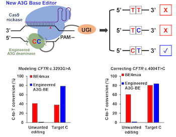 When consecutive cytosines are positioned in the editing window, the new A3G base editor developed at Rice University precisely modifies the single targeted C while minimizing unwanted C editing. (Credit: Gao Lab/Rice University)