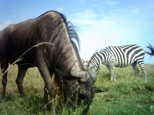 Wildebeest and zebra graze together in this camera-trap photo
