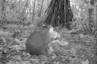 Camera trap photo of an agouti in Costa Rica's Braulio Carrillo National Park