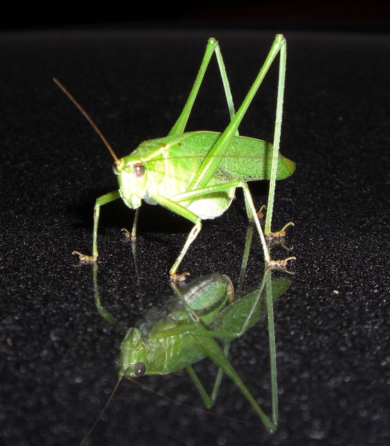Image Gallery katydid life cycle