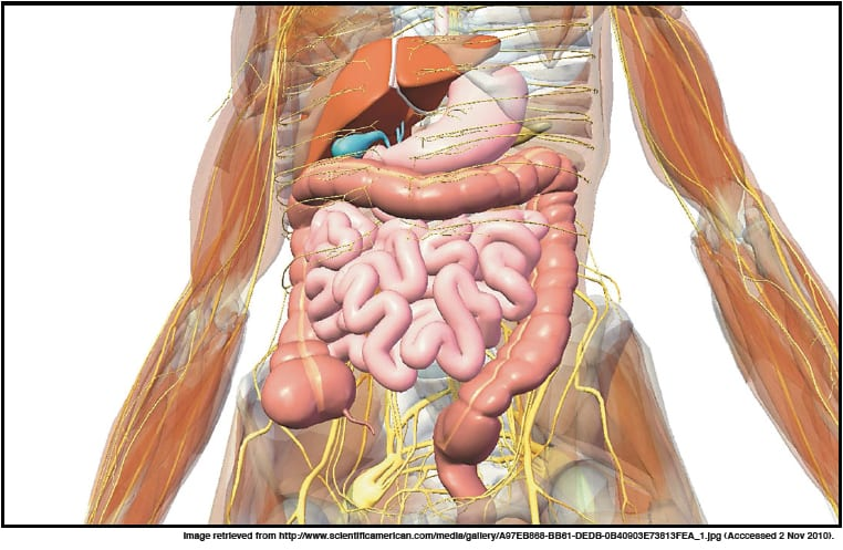 Figure 2: The organs of the human digestive system.